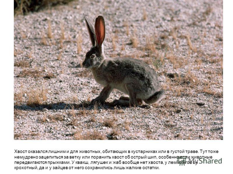 Хвост оказался лишним и для животных, обитающих в кустарниках или в густой траве. Тут тоже немудрено зацепиться за ветку или поранить хвост об острый шип, особенно если животные передвигаются прыжками. У квакш, лягушек и жаб вообще нет хвоста, у лемм