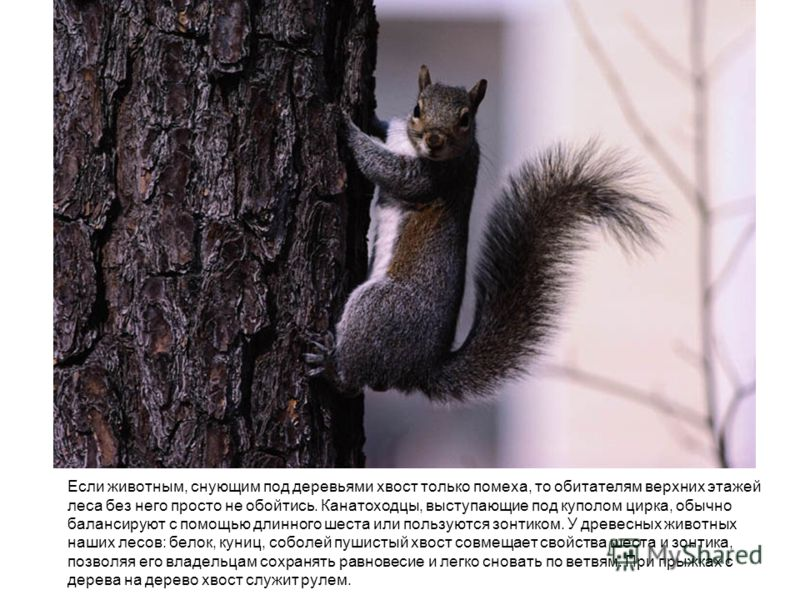 Если животным, снующим под деревьями хвост только помеха, то обитателям верхних этажей леса без него просто не обойтись. Канатоходцы, выступающие под