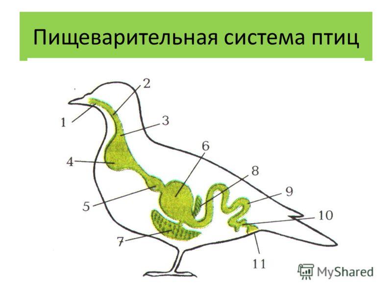 презентация особенности пищеварения птиц