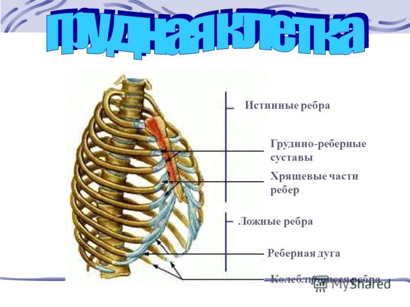 Истинные ребра Грудино-реберные суставы Хрящевые части ребер Ложные ребра Реберная дуга Колеблющиеся ребра