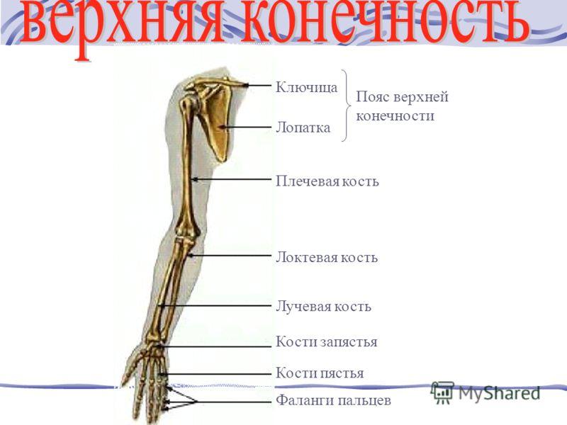 Ключица Лопатка Плечевая кость Локтевая кость Лучевая кость Кости запястья Кости пястья Фаланги пальцев Пояс верхней конечности