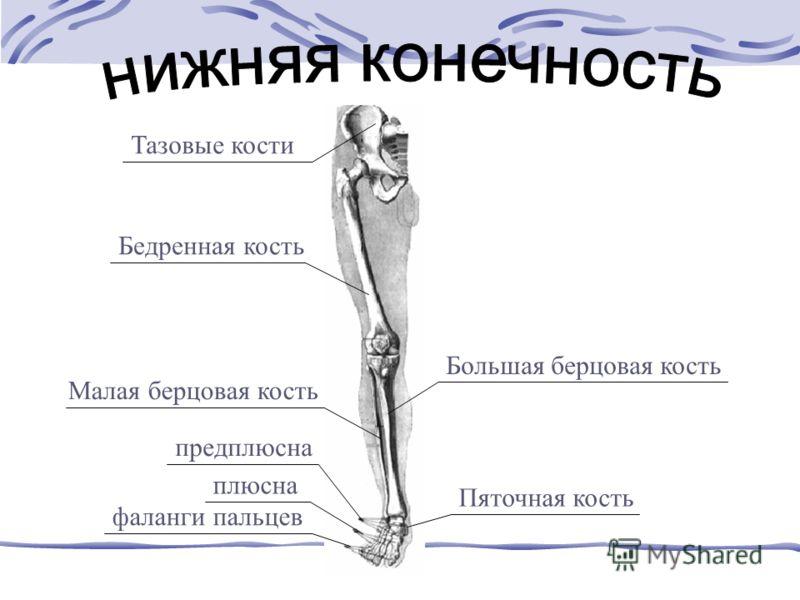 Тазовые кости Бедренная кость Большая берцовая кость Малая берцовая кость предплюсна плюсна фаланги пальцев Пяточная кость