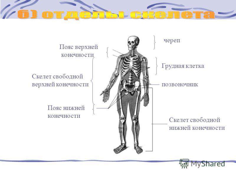 череп Пояс верхней конечности Скелет свободной нижней конечности Скелет свободной верхней конечности позвоночник Пояс нижней конечности Грудная клетка