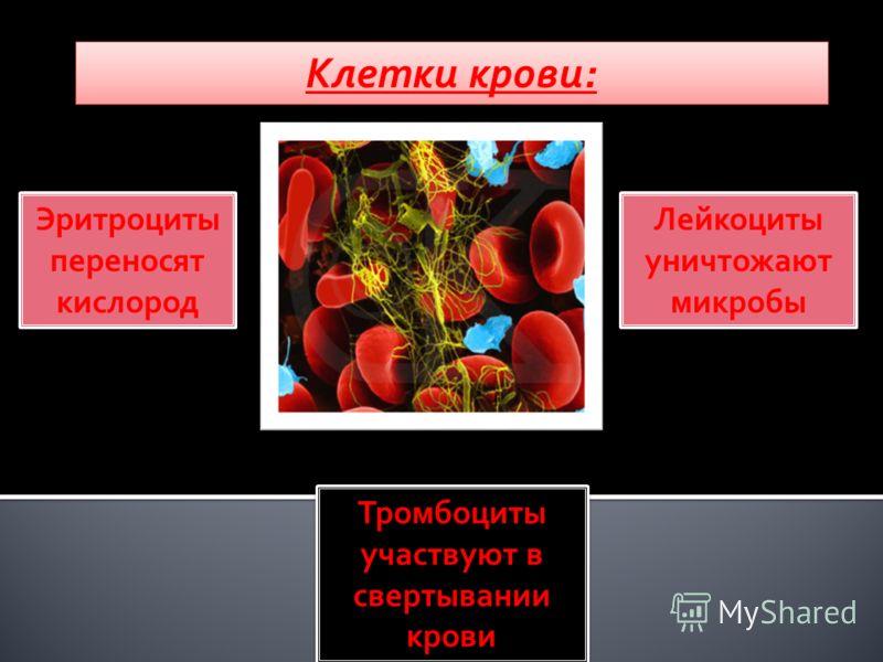 Клетки крови: Эритроциты переносят кислород Эритроциты переносят кислород Лейкоциты уничтожают микробы Лейкоциты уничтожают микробы Тромбоциты участвуют в свертывании крови Тромбоциты участвуют в свертывании крови