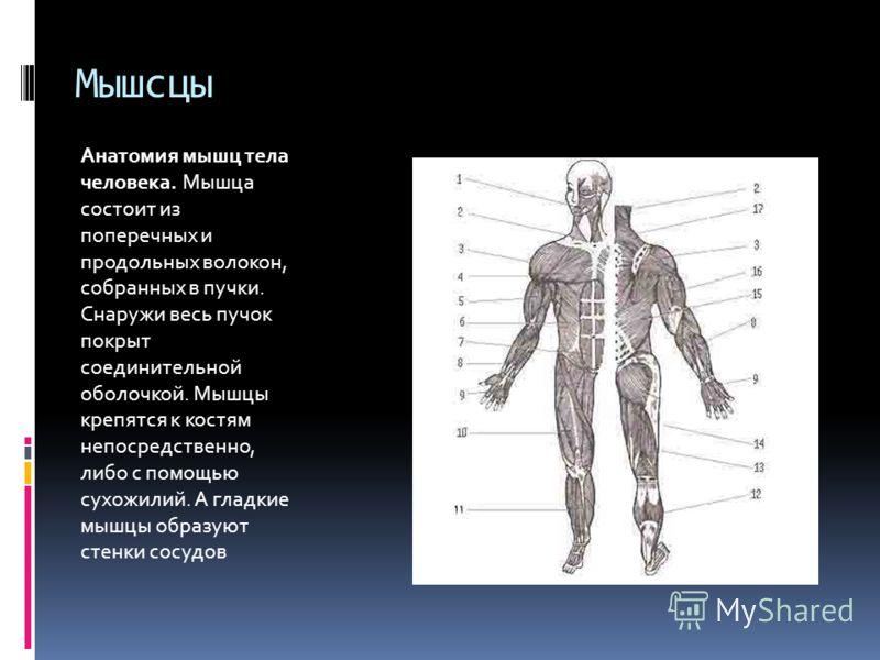 Мышсцы Анатомия мышц тела человека. Мышца состоит из поперечных и продольных волокон, собранных в пучки. Снаружи весь пучок покрыт соединительной оболочкой. Мышцы крепятся к костям непосредственно, либо с помощью сухожилий. А гладкие мышцы образуют с