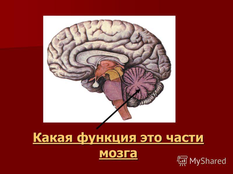 Какая функция это части мозга Какая функция это части мозга