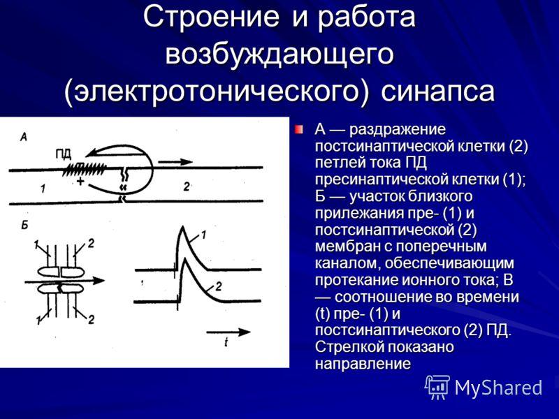 Строение и работа возбуждающего (электротонического) синапса А раздражение постсинаптической клетки (2) петлей тока ПД пресинаптической клетки (1); Б участок близкого прилежания пре- (1) и постсинаптической (2) мембран с поперечным каналом, обеспечив