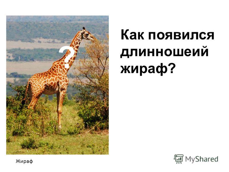 Жираф ? Как появился длинношеий жираф?