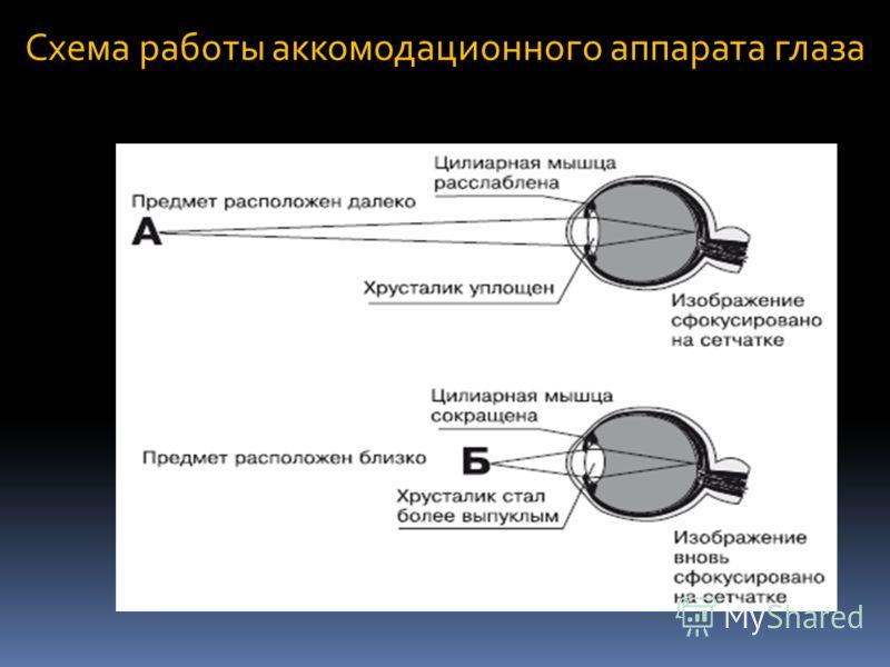 Схема работы аккомодационного аппарата глаза
