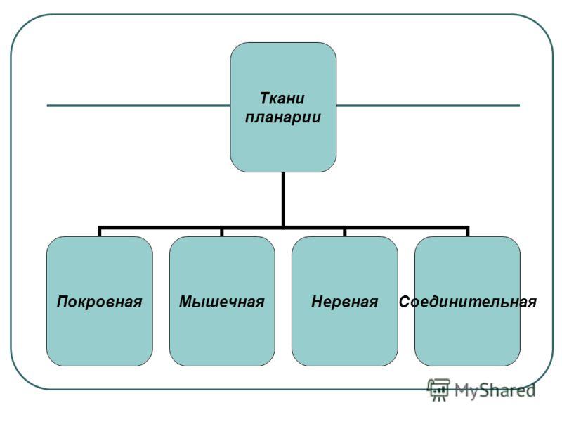 Ткани планарии ПокровнаяМышечнаяНервнаяСоединительная