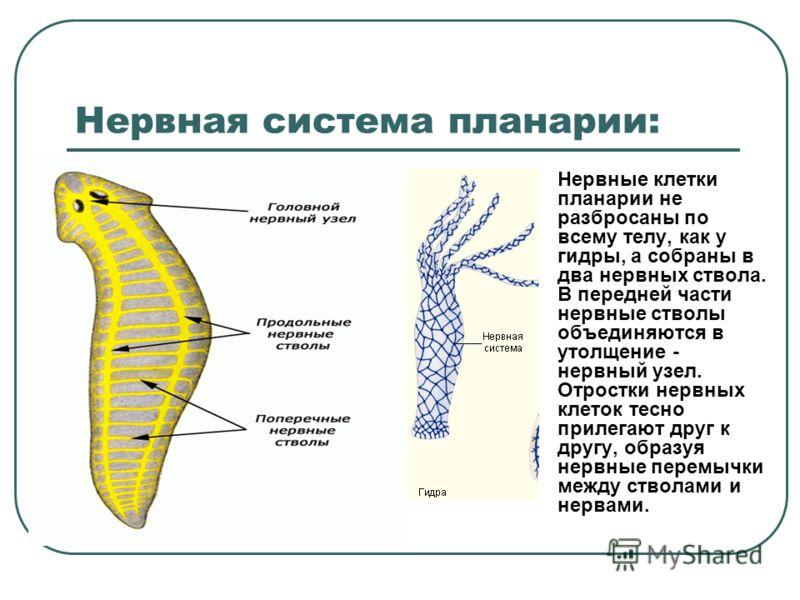 Нервная система планарии: Нервные клетки планарии не разбросаны по всему телу, как у гидры, а собраны в два нервных ствола. В передней части нервные стволы объединяются в утолщение - нервный узел. Отростки нервных клеток тесно прилегают друг к другу,