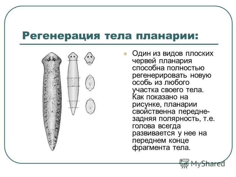 Регенерация тела планарии: Один из видов плоских червей планария способна полностью регенерировать новую особь из любого участка своего тела. Как показано на рисунке, планарии свойственна передне- задняя полярность, т.е. голова всегда развивается у н