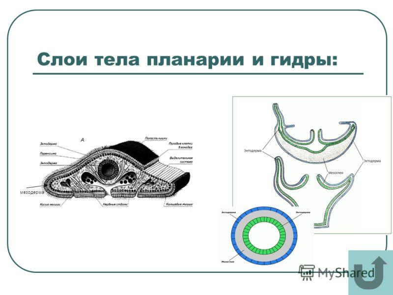 Слои тела планарии и гидры: мезодерма