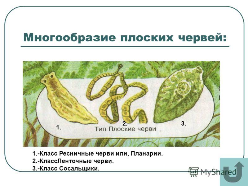 Многообразие плоских червей: 1. 2.3. 1.-Класс Ресничные черви или, Планарии. 2.-КлассЛенточные черви. 3.-Класс Сосальщики.