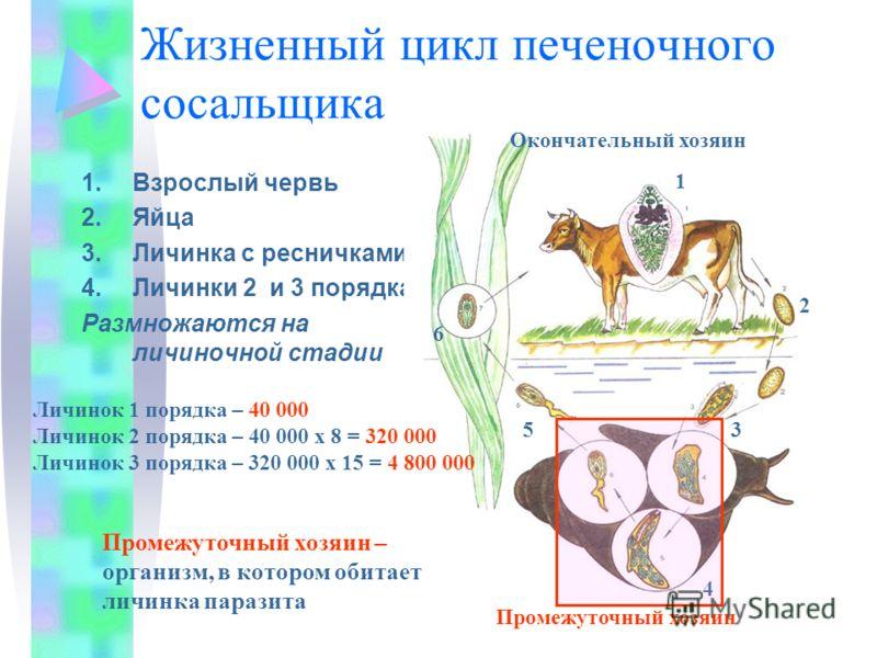 Жизненный цикл печеночного сосальщика 1.Взрослый червь 2.Яйца 3.Личинка с ресничками 4.Личинки 2 и 3 порядка Размножаются на личиночной стадии 1 2 3 4 5 6 Окончательный хозяин Промежуточный хозяин Личинок 1 порядка – 40 000 Личинок 2 порядка – 40 000