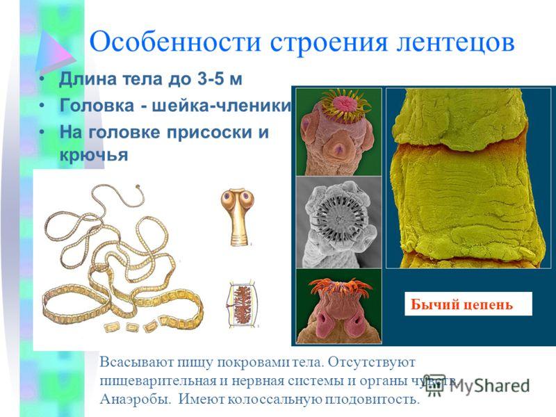 Особенности строения лентецов Длина тела до 3-5 м Головка - шейка-членики На головке присоски и крючья Бычий цепень Всасывают пищу покровами тела. Отсутствуют пищеварительная и нервная системы и органы чувств. Анаэробы. Имеют колоссальную плодовитост