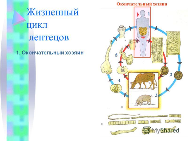 Жизненный цикл лентецов 1. Окончательный хозяин Членики с яйцами Окончательный хозяин1 2 3 4 5