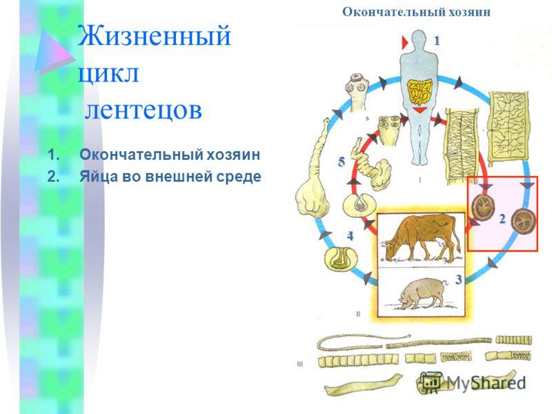 Жизненный цикл лентецов 1.Окончательный хозяин 2.Яйца во внешней среде Членики с яйцами Окончательный хозяин1 2 3 4 5