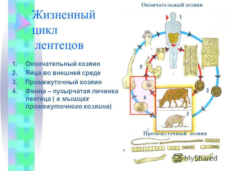 Жизненный цикл лентецов 1.Окончательный хозяин 2.Яйца во внешней среде 3.Промежуточный хозяин 4.Финна – пузырчатая личинка лентеца ( в мышцах промежуточного хозяина) Членики с яйцами Окончательный хозяин1 2 3 4 5 Промежуточный хозяин
