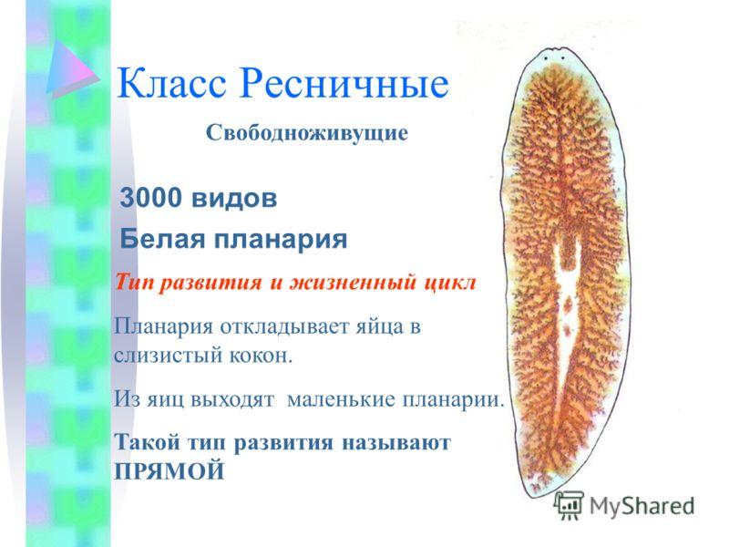 Класс Ресничные 3000 видов Белая планария Свободноживущие Тип развития и жизненный цикл Планария откладывает яйца в слизистый кокон. Из яиц выходят маленькие планарии. Такой тип развития называют ПРЯМОЙ