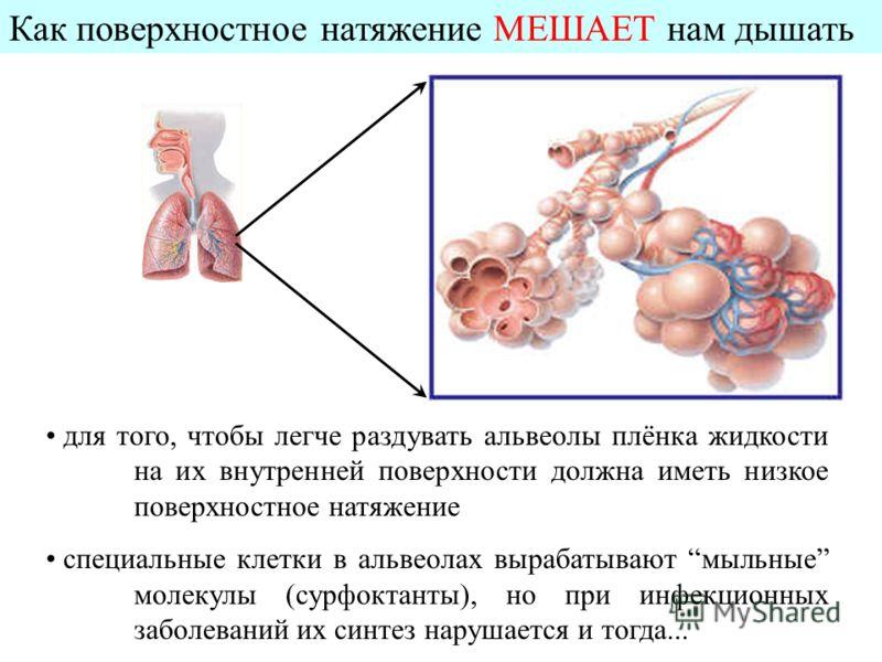 Как поверхностное натяжение МЕШАЕТ нам дышать для того, чтобы легче раздувать альвеолы плёнка жидкости на их внутренней поверхности должна иметь низкое поверхностное натяжение специальные клетки в альвеолах вырабатывают мыльные молекулы (сурфоктанты)