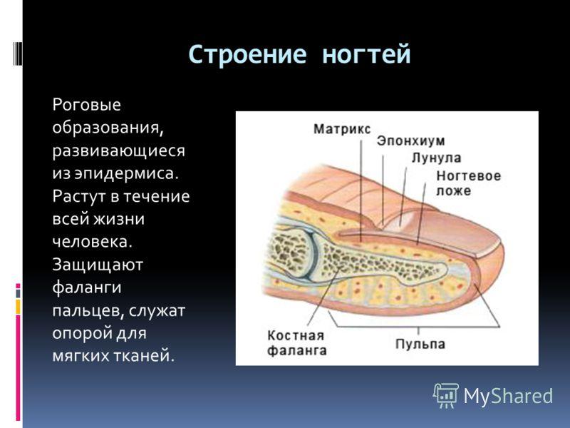 Строение ногтей Роговые образования, развивающиеся из эпидермиса. Растут в течение всей жизни человека. Защищают фаланги пальцев, служат опорой для мягких тканей.