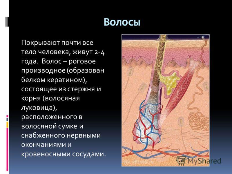 Волосы Покрывают почти все тело человека, живут 2-4 года. Волос – роговое производное (образован белком кератином), состоящее из стержня и корня (волосяная луковица), расположенного в волосяной сумке и снабженного нервными окончаниями и кровеносными