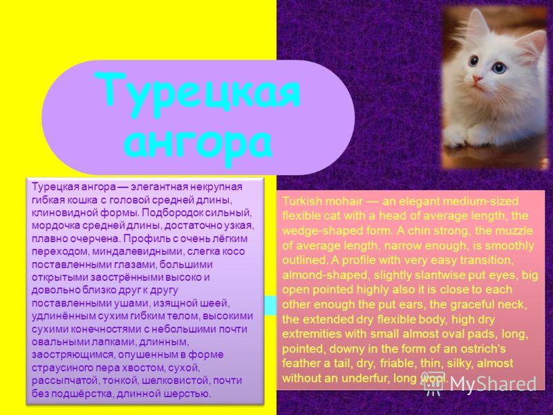 Турецкая ангора Турецкая ангора элегантная некрупная гибкая кошка с головой средней длины, клиновидной формы. Подбородок сильный, мордочка средней длины, достаточно узкая, плавно очерчена. Профиль с очень лёгким переходом, миндалевидными, слегка косо