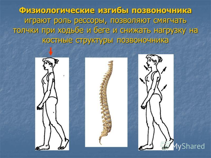 Физиологические изгибы позвоночника играют роль рессоры, позволяют смягчать толчки при ходьбе и беге и снижать нагрузку на костные структуры позвоночника