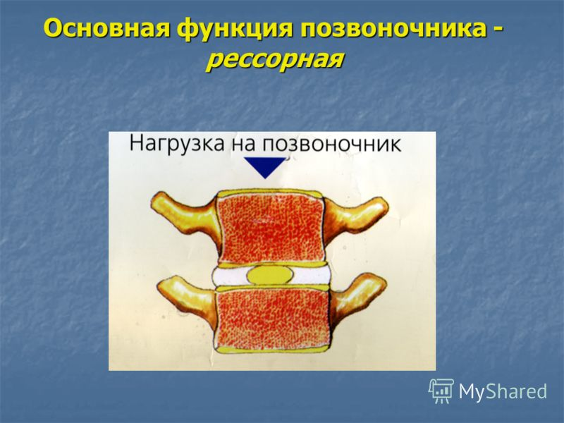 Основная функция позвоночника - рессорная