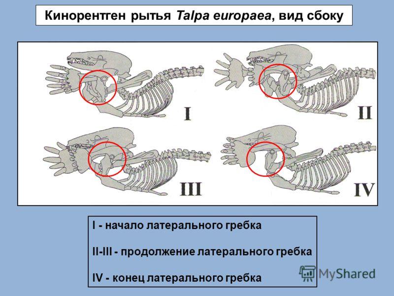 Кинорентген рытья Talpa europaea, вид сбоку I - начало латерального гребка II-III - продолжение латерального гребка IV - конец латерального гребка