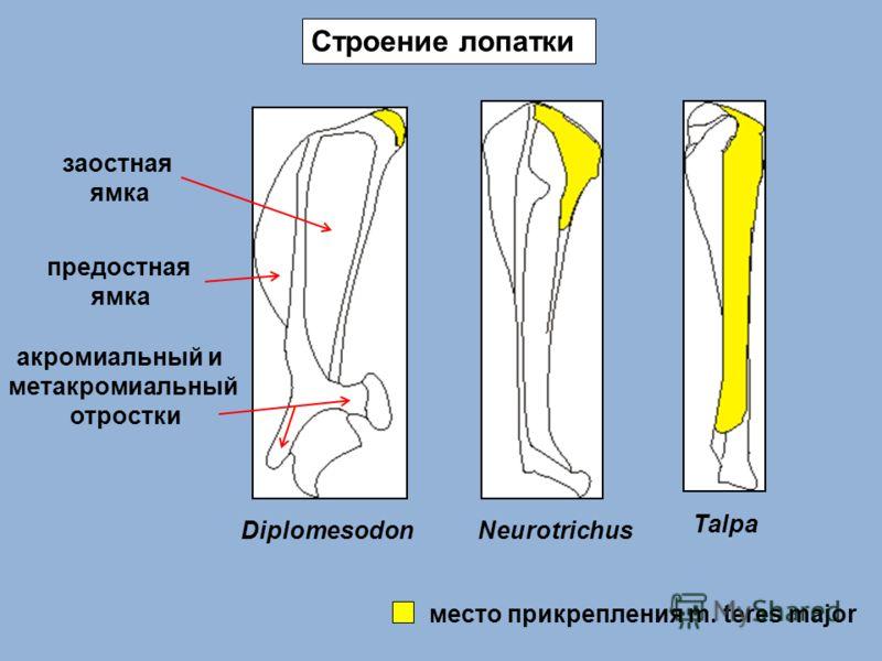 DiplomesodonNeurotrichus Talpa Строение лопатки место прикрепления m. teres major заостная ямка предостная ямка акромиальный и метакромиальный отростки