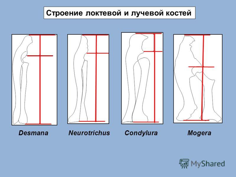 Строение локтевой и лучевой костей DesmanaNeurotrichusCondyluraMogera