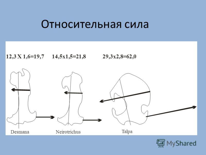 Относительная сила 12,3 X 1,6=19,7 14,5x1,5=21,8 29,3x2,8=62,0 DesmanaNeirotrichus Talpa