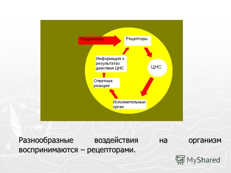 Разнообразные воздействия на организм воспринимаются – рецепторами.
