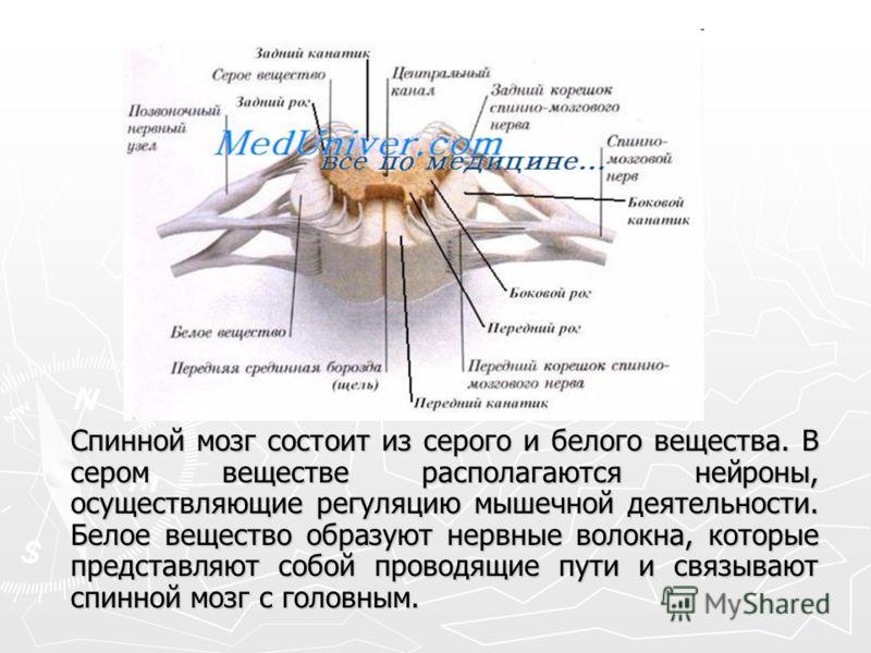 Спинной мозг состоит из серого и белого вещества. В сером веществе располагаются нейроны, осуществляющие регуляцию мышечной деятельности. Белое вещество образуют нервные волокна, которые представляют собой проводящие пути и связывают спинной мозг с г