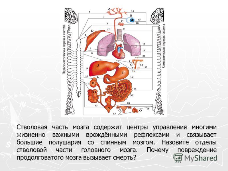 Стволовая часть мозга содержит центры управления многими жизненно важными врождёнными рефлексами и связывает большие полушария со спинным мозгом. Назовите отделы стволовой части головного мозга. Почему повреждение продолговатого мозга вызывает смерть