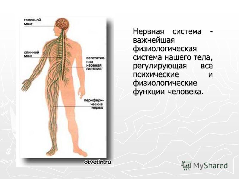 Нервная система - важнейшая физиологическая система нашего тела, регулирующая все психические и физиологические функции человека.