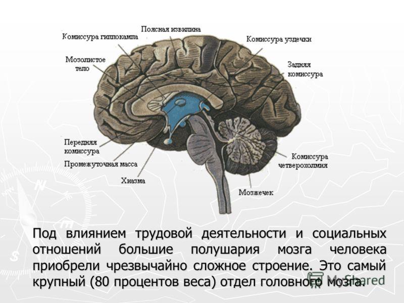 Под влиянием трудовой деятельности и социальных отношений большие полушария мозга человека приобрели чрезвычайно сложное строение. Это самый крупный (80 процентов веса) отдел головного мозга.