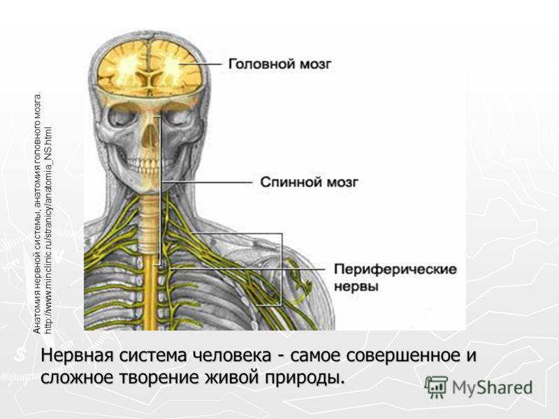 Нервная система человека - самое совершенное и сложное творение живой природы. Анатомия нервной системы, анатомия головного мозга. http://www.minclinic.ru/stranicy/anatomia_NS.html