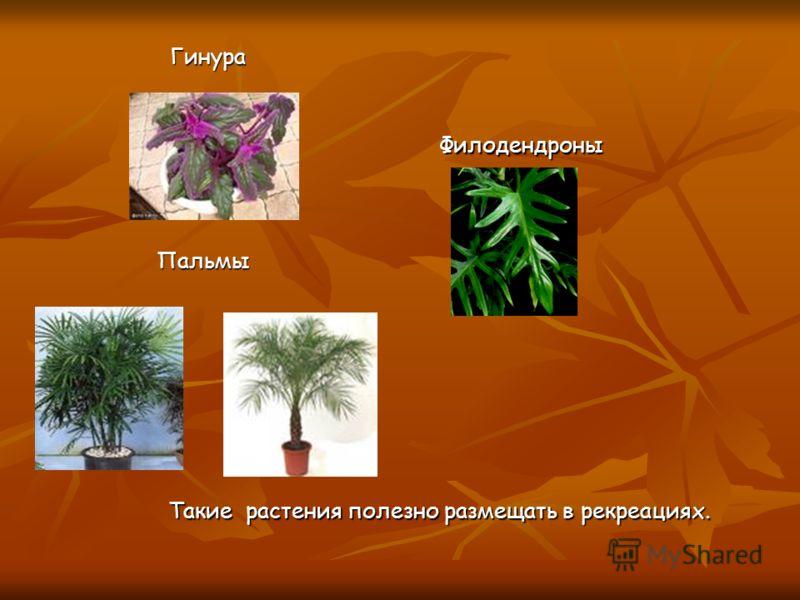 Пальмы Филодендроны Филодендроны Такие растения полезно размещать в рекреациях. Гинура Гинура