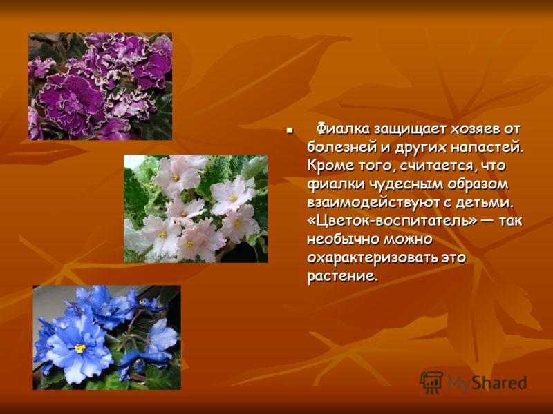 Фиалка защищает хозяев от болезней и других напастей. Кроме того, считается, что фиалки чудесным образом взаимодействуют с детьми. «Цветок-воспитатель» так необычно можно охарактеризовать это растение. Фиалка защищает хозяев от болезней и других напа