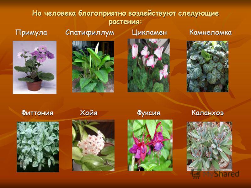 На человека благоприятно воздействуют следующие растения: Примула Спатифиллум Цикламен Камнеломка Фиттония Хойя Фуксия Каланхоэ Фиттония Хойя Фуксия Каланхоэ