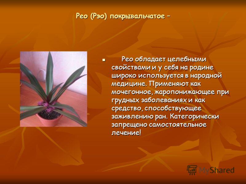 Рео (Рэо) покрывальчатое – Рео обладает целебными свойствами и у себя на родине широко используется в народной медицине. Применяют как мочегонное, жаропонижающее при грудных заболеваниях и как средство, способствующее заживлению ран. Категорически за