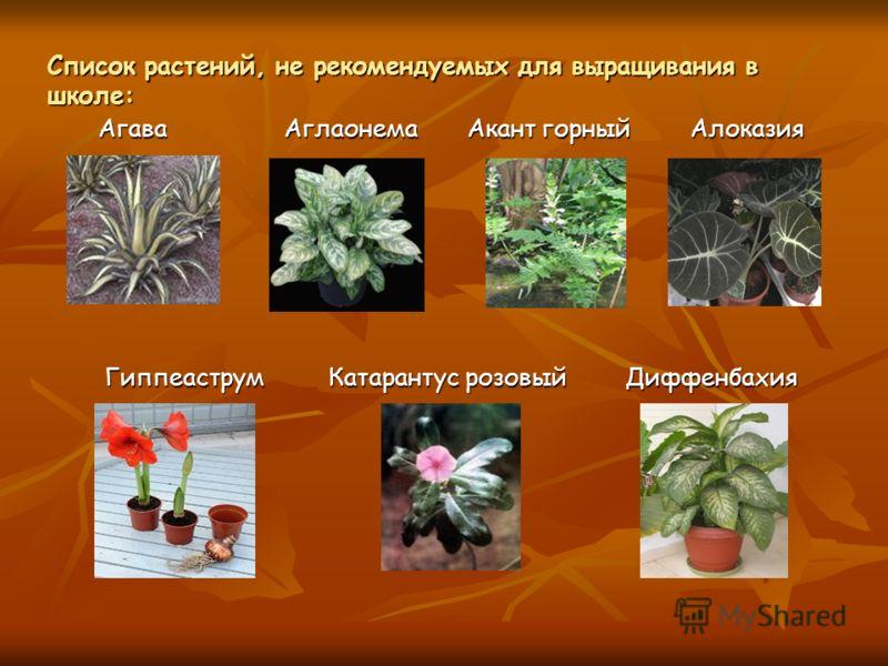 Список растений, не рекомендуемых для выращивания в школе: Агава Аглаонема Акант горный Алоказия Гиппеаструм Катарантус розовый Диффенбахия Гиппеаструм Катарантус розовый Диффенбахия