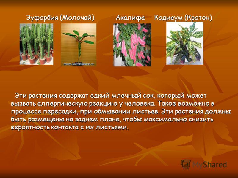 Эуфорбия (Молочай) Акалифа Кодиеум (Кротон) Эуфорбия (Молочай) Акалифа Кодиеум (Кротон) Эти растения содержат едкий млечный сок, который может вызвать аллергическую реакцию у человека. Такое возможно в процессе пересадки, при обмывании листьев. Эти р