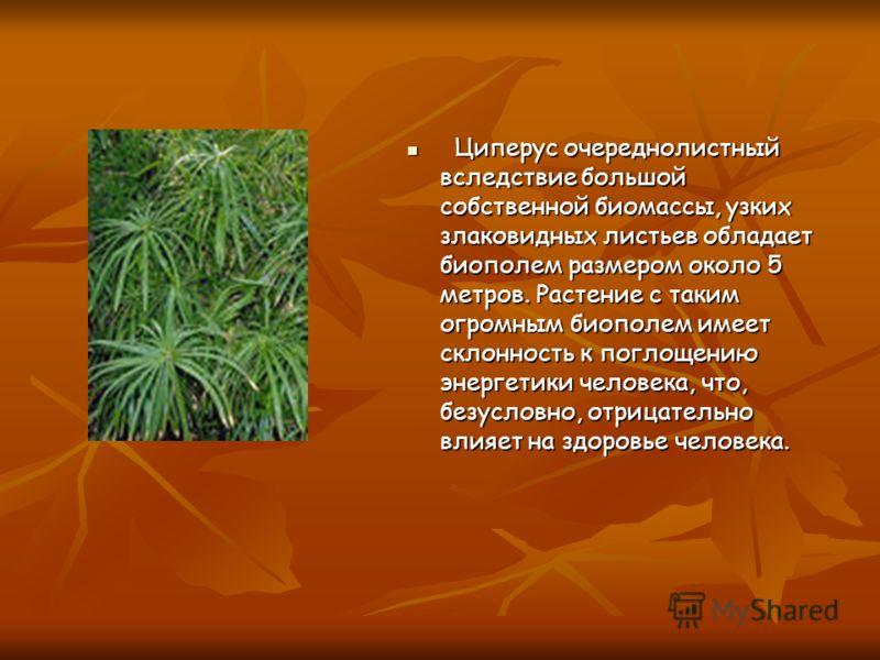 Циперус очереднолистный вследствие большой собственной биомассы, узких злаковидных листьев обладает биополем размером около 5 метров. Растение с таким огромным биополем имеет склонность к поглощению энергетики человека, что, безусловно, отрицательно