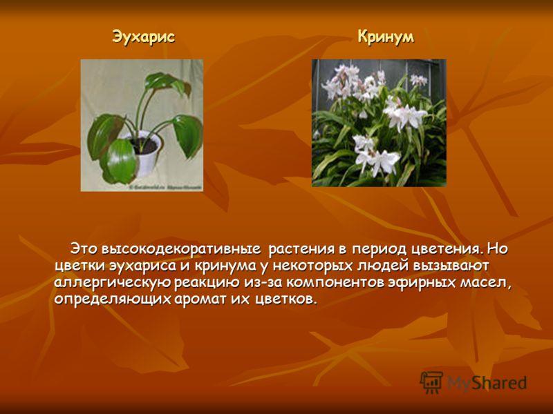 Это высокодекоративные растения в период цветения. Но цветки эухариса и кринума у некоторых людей вызывают аллергическую реакцию из-за компонентов эфирных масел, определяющих аромат их цветков. Это высокодекоративные растения в период цветения. Но цв