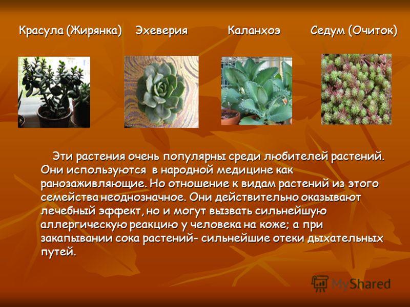 Эти растения очень популярны среди любителей растений. Они используются в народной медицине как ранозаживляющие. Но отношение к видам растений из этого семейства неоднозначное. Они действительно оказывают лечебный эффект, но и могут вызвать сильнейшу