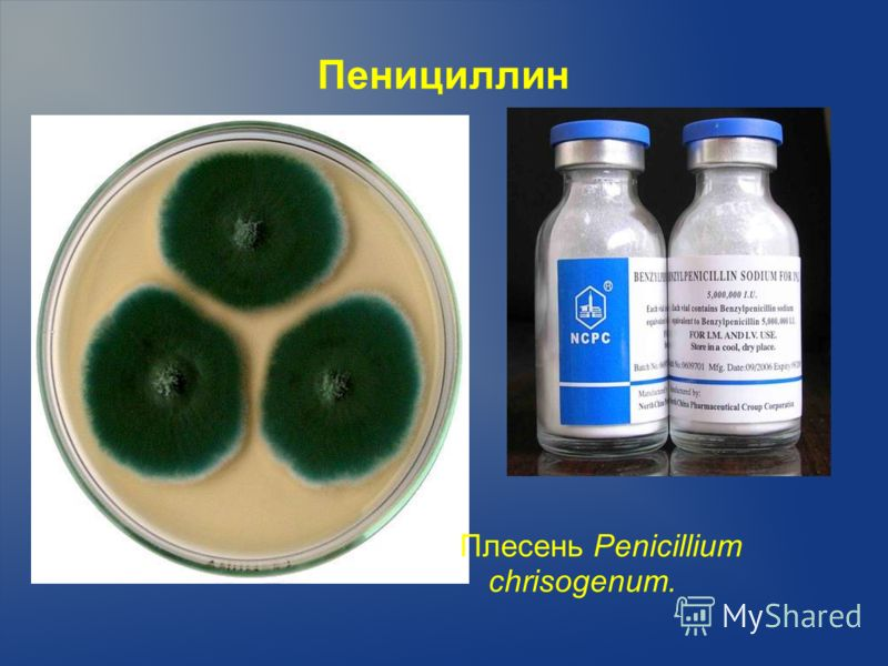 Пенициллин Плесень Penicillium chrisogenum.